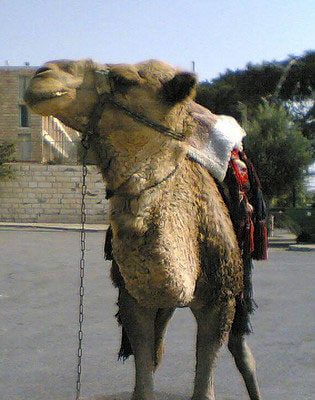 A Camel does not belong in your vacation rental